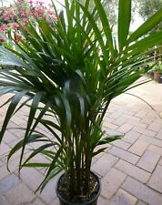 Plants Golden Cane Palms   200mm pots  aprx 80cm hgt  $16-90ea  EXCESS STOCK