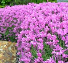 45 Lavandula stoechas 'Bandera Pink' Spanish Lavender Mini Plugs for potting on