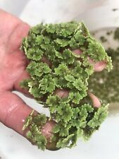 *BUY 2 GET 1 Portion Live Azolla / Mosquito Fern - Aquarium and Pond Plant