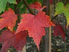 Acer rubrum 'October Glory / Maple 4-5ft Tall, Stunning Autumn Colours