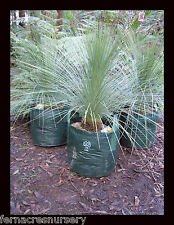 FAON - Grass tree, Native Xanthorrhoea glauca seed grown in 500mm pot.