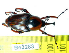 Be(3283) Curculionidae Weevil Beetle Real Insect Vietnam