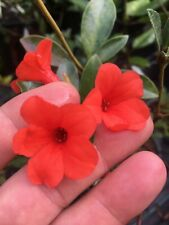 Rhododendron wilkiei Miniature Vireya neotropical epiphyte orchid Extremely Rare