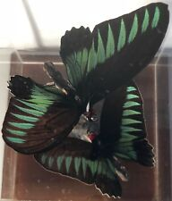 Mounted Vintage Real Tropical Butterfly Taxidermy Display In Cube Retro Insect B