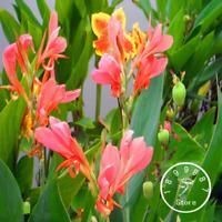 100 PCS Seeds Flowers Small Canna Lily Bonsai Plants Free Shipping 2019 Rare New