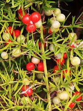 Asparagus Falcatus FERN shrub fragrant flowering bush bird atract seed  20 seeds