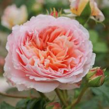 Englische Rose apricot blühend David Austin  AUScot im Wurzelschutzverpackung