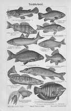 Teichfischerei Fische Angeln HOLZSTICH von 1897 Karpfen Wels Hecht Angelsport