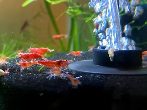 25+5 Red Cherry Shrimp- Homebred- Cherry to Sakura Grade - Neocaridina davidi