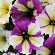 50 Yellow Purple White Petunia Seeds Flower Perennial Flowers Annual Seed 1223