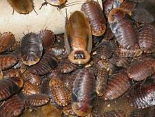 """Discoid Roaches - Live Feeder 100 Small 1/4"""" - 3/8"""" Ships Free! Reptile"""