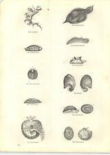 1854 Engravings Dolabella Tritonia Berthella