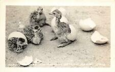 RPPC Baby Ostriches, Los Angeles Ostrich Farm, CA Eggs Vintage Photo Postcard