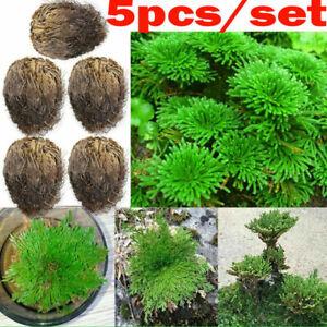 5×Live Resurrection Plant Striking Rose Of Jericho Dinosaur Air Fern Spikes Moss
