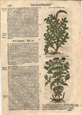 Stampa antica ERBARIO MATTIOLI MATTHIOLI EUPATORIA Fiori 1580 Old antique print