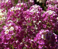 ALYSSUM ROYAL CARPET PURPLE Lobularia Maritima - 2,500  Bulk Seeds