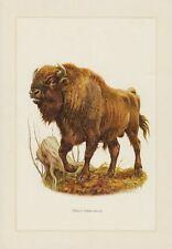 Wisent  Europäischer Bison (Bison bonasus) Rinder Rind     Farbdruck 1958