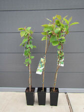 Kiwi-Pflanze - Actinidia d.'Jenny' selbstfruchtend - Pflanze 70-100cm Winterhart