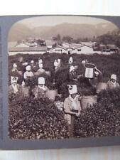 Stereo View   Stereoview - Tea Picking Uji Japan