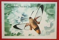 CLEARWING HAWK MOTH   Illustrated Colour Card