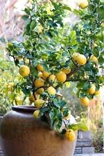 HAND BLENDED POTTING MIX FOR CONTAINER CITRUS-/PLANTS 12 Qts ORGANIC PsNature