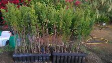 PLANTAS: 200 u. DE CIPRESES PARA SETO 30/40 cms.