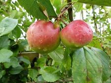 Worcester Pearmain Apple Tree 4-5ft  Ready to Fruit,Self-fertile & Sweet