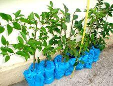 Pianta Rustica Sempreverde X Siepi o Vaso. Prezzo speciale fine produzione