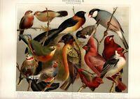 Stampa Antica 1897 = UCCELLI DA GABBIETTA Ornitologia CROMOLITOGRAFIA Old Print