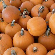 Pumpkin SMALL SUGAR-Pumpkin Seeds-NAME SAYS IT ALL-20 LARGER SEEDS