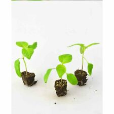 Paprikapflanzen - Paprika / Snack Orange - Capsicum annuum - 3 Pflanzen
