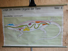 1 x Lage der inneren Organe Zauneidechse, Lehrkarte/ Rollkarte (1124) gebraucht