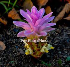 2 LIVE RHIZOME CURCUMA ANGUSTIFOLIA ROXB EAST INDIAN ARROWROOT BULBS RARE PLANT