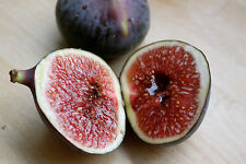 100 Sweet Honey FIG tree seeds - Fragrant - King Figs - 100+ fresh seeds non-GMO