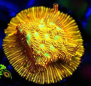 Jack O Lantern Leptoseris, Well encrusted Orange LPS Coral frag
