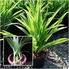 Pandanus amaryllifolius - Pandan leaf - Asian cooking herb .50 SEEDS/Bag