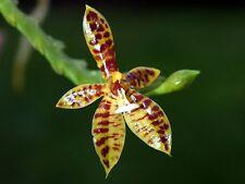 Rare orchid species seedling - Phalaenopsis cornu-cervi