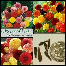 20+ MIXED DAHLIA SEEDS (Dahlia Hybrid) Beautiful Garden Perennial Flowers Gift