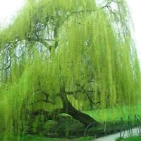 5 Bright Green Willow Seeds Tree Weeping Flower Giant Full Landscape Garded 674