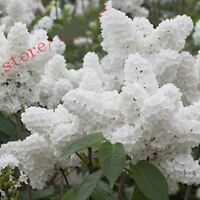 100pcs White Japanese Lilac seeds bonsai Extremely Fragrant clove flower seed fo