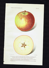 Rome Beauty Apples - 1916 Dept of Agriculture Chromolithograph