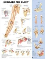 ANATOMY OF SHOULDER & ELBOW (LAMINATED) POSTER (66x51cm) ANATOMICAL CHART HUMAN