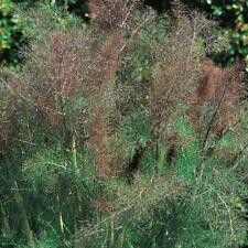 Herb Seeds - Fennel Bronze - 600 Seeds