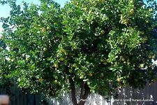 5 Tahitian Lime Trees Citrus latifolia Fruit Herb  Plants Scented Flowers Edible