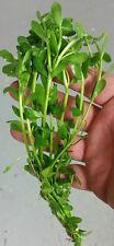 Bunched Moneywort Live Aquarium Plant (bacopa monnieri) Stem