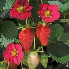 Strawberry Plug Plants 'Toscana F1' Vegetable Garden Pack x6