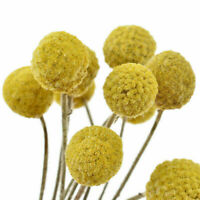 10 Pcs Natural Dried Flowers Craspedia Stick Wedding Party Home Floral Decor