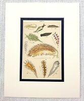 1898 Antico Stampa Mare Lumache Gastropods Oceano Creatures Naturale Storia Art