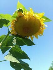 Titan Sunflower Seeds (Massive Record Setting Heads) 15 Seeds TLG-669