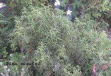 Fragrant, pine-scented geranium / pelargonium (Pelargonium denticulatum)